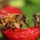 Осы едят клубнику: причины и методы борьбы