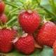 Почему у виктории сохнут ягоды и как с этим бороться?