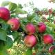 Почему яблоня не плодоносит и как это исправить?