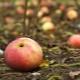 Почему яблоня сбрасывает плоды до их созревания и что делать?
