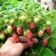 Почему ягоды клубники корявые, маленькие и что с этим делать?