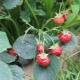 Почему ягоды клубники не развиваются и что с этим делать?