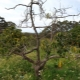 Почему засыхает яблоня и как можно спасти дерево?