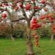Повреждения на коре яблони: причины и способы их устранения