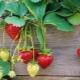 Правила ухода за клубникой во время плодоношения