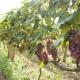 Разнообразие видов опор для винограда