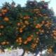 Разновидности мандаринов и способы их приготовления