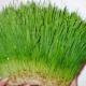 Ростки пшеницы: польза и вред, советы по употреблению