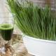 Сок ростков пшеницы: польза и вред, особенности приготовления