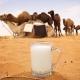 Свойства и калорийность верблюжьего молока