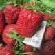Технология выращивания сорта клубники «Викода»