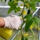 Тонкости обработки огурцов от болезней народными средствами