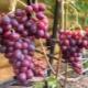 Виноград «Краса Никополя»: достоинства и правила выращивания