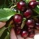 Вишня Шпанка: описание сорта и выращивание