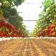 Выращивание клубники в теплице: выбор сорта и технология посадки
