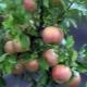 Яблоня «Бельфлёр-китайка»: описание сорта и агротехника