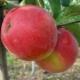 Яблоня «Хани Крисп»: описание сорта и выращивание