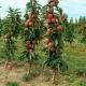 Яблоня колоновидная для Ленинградской области: правила посадки и ухода