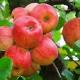 Яблоня «Конфетное»: описание сорта, посадка и уход