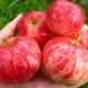 Яблоня «Коричное полосатое»: описание сорта, посадка и уход