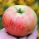 Яблоня «Орловим»: описание сорта, посадка и уход