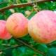 Яблоня «Уралец»: описание сорта, посадка и уход