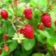 Земляника «Александрина»: описание сорта и выращивание