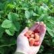 Земляника «Барон Солемахер»: описание сорта и выращивание
