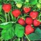 Земляника: это ягода или орех и каковы ее особенности?