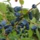 Жимолость съедобная: виды, сорта и советы по агротехнике