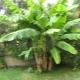 Банановое «дерево»: что это за растение, растут ли бананы на пальме?