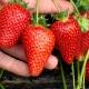 Чем обработать клубнику от болезней и вредителей во время плодоношения?