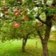 Фруктовые деревья для сада: особенности выбора, посадки и ухода