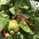 Как бороться с тлей на яблоне?