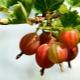 Как обрезать крыжовник осенью, чтобы был хороший урожай?