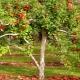 Как правильно посадить яблоню на Урале?