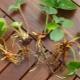 Как размножить землянику?