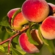 Как сушить персики?