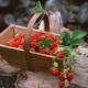Классификация сортов клубники и их особенности
