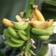 Комнатный банан: сорта и их выращивание