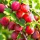 Крыжовник «Колобок»: характеристика и выращивание сорта