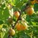 Крыжовник «Русский желтый»: описание и процесс выращивания