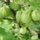 Крыжовник «Уральский изумруд»: характеристика и тонкости выращивания