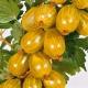 Крыжовник «Янтарный»: характеристика и выращивание