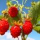 Лесная клубника: полезные свойства и противопоказания