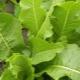 Листья хрена: применение, полезные свойства и противопоказания