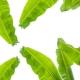 Особенности листьев банана и советы по их использованию