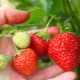 Особенности подкормки клубники во время плодоношения
