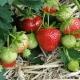 Особенности подкормки виктории во время плодоношения