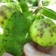 Парша на яблоне: особенности заболевания и способы лечения